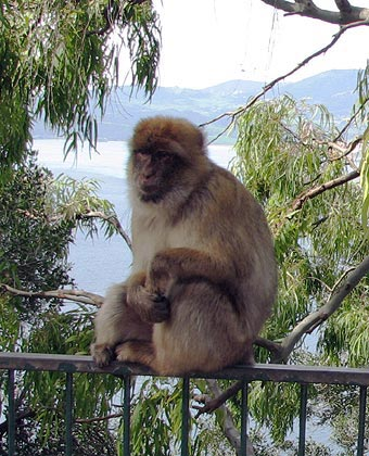 One of Gibraltar's famous apes